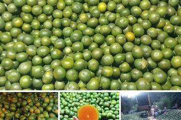 Cam sành Tuyên Quang, Hà Giang giá chỉ còn vài nghìn đồng/kg, người mua cũng sững sờ