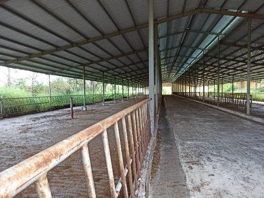 Dự án nuôi bò thất bại, Đức Long Gia Lai chuyển sang nuôi heo