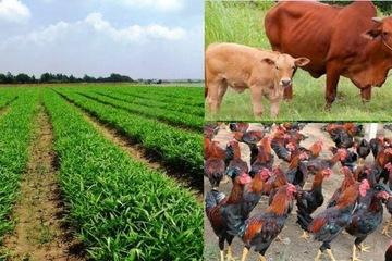 Có 200 triệu đồng trong tay, tôi có nên bỏ việc về quê trồng rau sạch, nuôi bò làm giàu?
