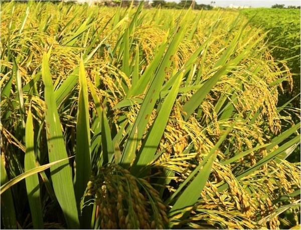 Viện Di truyền Nông nghiệp: Đi đầu trong lai giống cây trồng mới