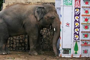 Chú voi 'cô độc nhất thế giới' lần đầu tiên giao tiếp với đồng loại sau 8 năm