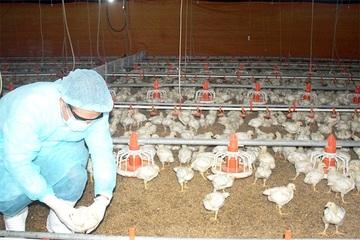Đồng Nai chủ động phòng chống dịch bệnh cho đàn gia cầm những tháng cuối năm
