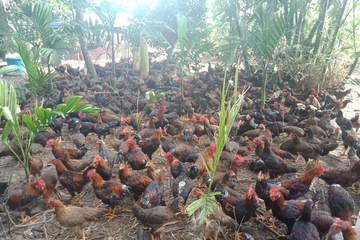 Nhiều mô hình chăn nuôi giúp các hộ nghèo ở Quảng Ngãi thoát nghèo