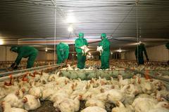 Vĩnh Phúc: Không xảy ra dịch cúm, đàn gia cầm tăng gần 5%