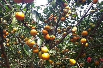 Người dân Cao Phong thoát nghèo nhờ trồng cam đặc sản