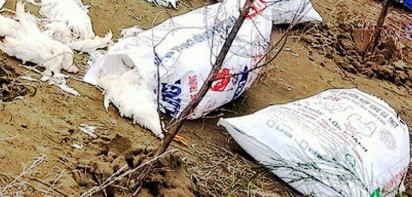 Nghệ An: Hàng chục bao tải gà chết vứt la liệt trên bờ biển