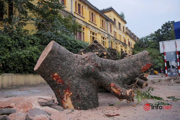 Hà Nội: Chuyển 2 cây sưa đỏ trên phố Trần Hưng Đạo về công viên Thống Nhất