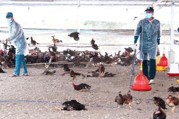 Dịch cúm gia cầm lây lan nhanh ở Long An