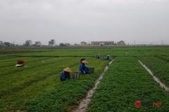 Huế: Xây dựng HTX nông nghiệp Quảng Thọ kiểu mới, rau má làm sản phẩm chủ lực