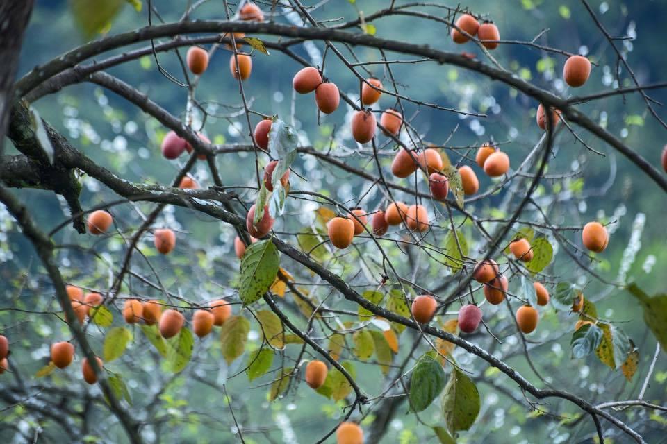 Mùa hồng chín ở Mộc Châu đẹp ngất ngây dưới ống kính của nữ bác sĩ