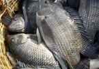 Chỉ nuôi cá rô phi đơn tính, ông nông dân miền Tây thu tiền tỉ