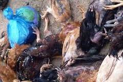 Gà chết vứt ở ven biển Nghệ An dương tính với dịch cúm gia cầm H5N6