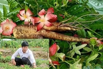 Đưa loại dược liệu này từ rừng về trồng, tỉ phú miền Tây thu tiền tỷ