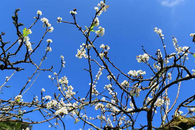 Hoa mận bung nở trắng rừng Mộc Châu, điểm 'check-in' lý  tưởng cuối tuần