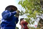 """Làng đào Nhật Tân vào mùa tuốt lá, nghe tưởng dễ nhưng phải làm cực khéo mới """"ăn tiền"""""""