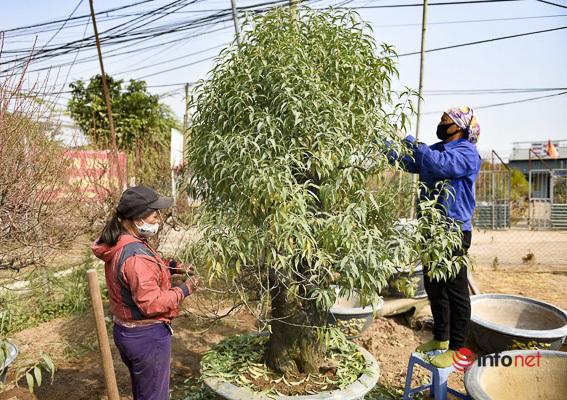 Làng đào Nhật Tân vào mùa tuốt lá, nghe tưởng dễ nhưng phải làm cực khéo mới 'ăn tiền'