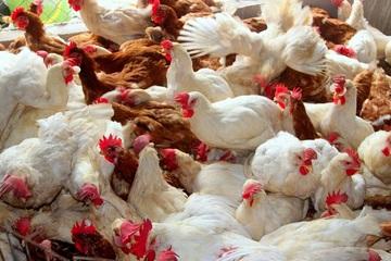 Cảnh báo nguy cơ cao dịch bệnh gia súc, gia cầm bùng phát cuối năm