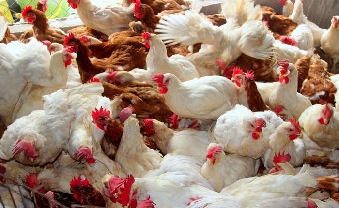 Nghệ An: Dịch cúm gia cầm tái phát, xã Diễn Trung tiêu hủy hơn 6 tấn gà