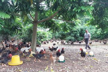 Bắc Giang xây dựng vùng an toàn dịch bệnh cúm gia cầm đối với gà ở Yên Thế