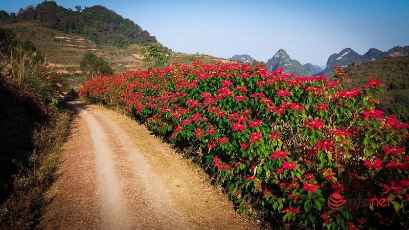 Giới trẻ 'phát sốt' với đường hoa trạng nguyên đỏ rực màu Giáng sinh
