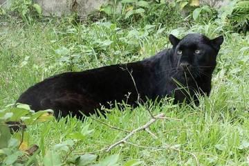 Sở thú có người chết vì hổ vồ, nay lại có người bị báo tấn công