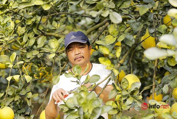 Vườn bưởi Diễn cổ xịn giữa Thủ đô bán hàng vạn quả, thu gần tỷ đồng mỗi vụ