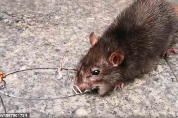 Người đàn ông dắt chuột đi dạo giữa phố gây sốt