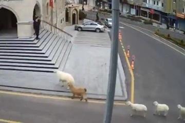 'Băng đảng' gia súc xổng chuồng, 'vi hành' xuống thành phố