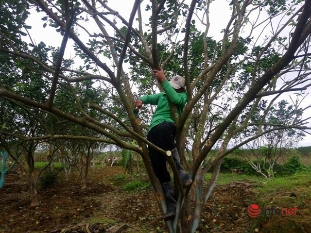 Huế: Nỗ lực cứu cây đặc sản Thanh Trà bị hư hại nặng sau mưa lũ