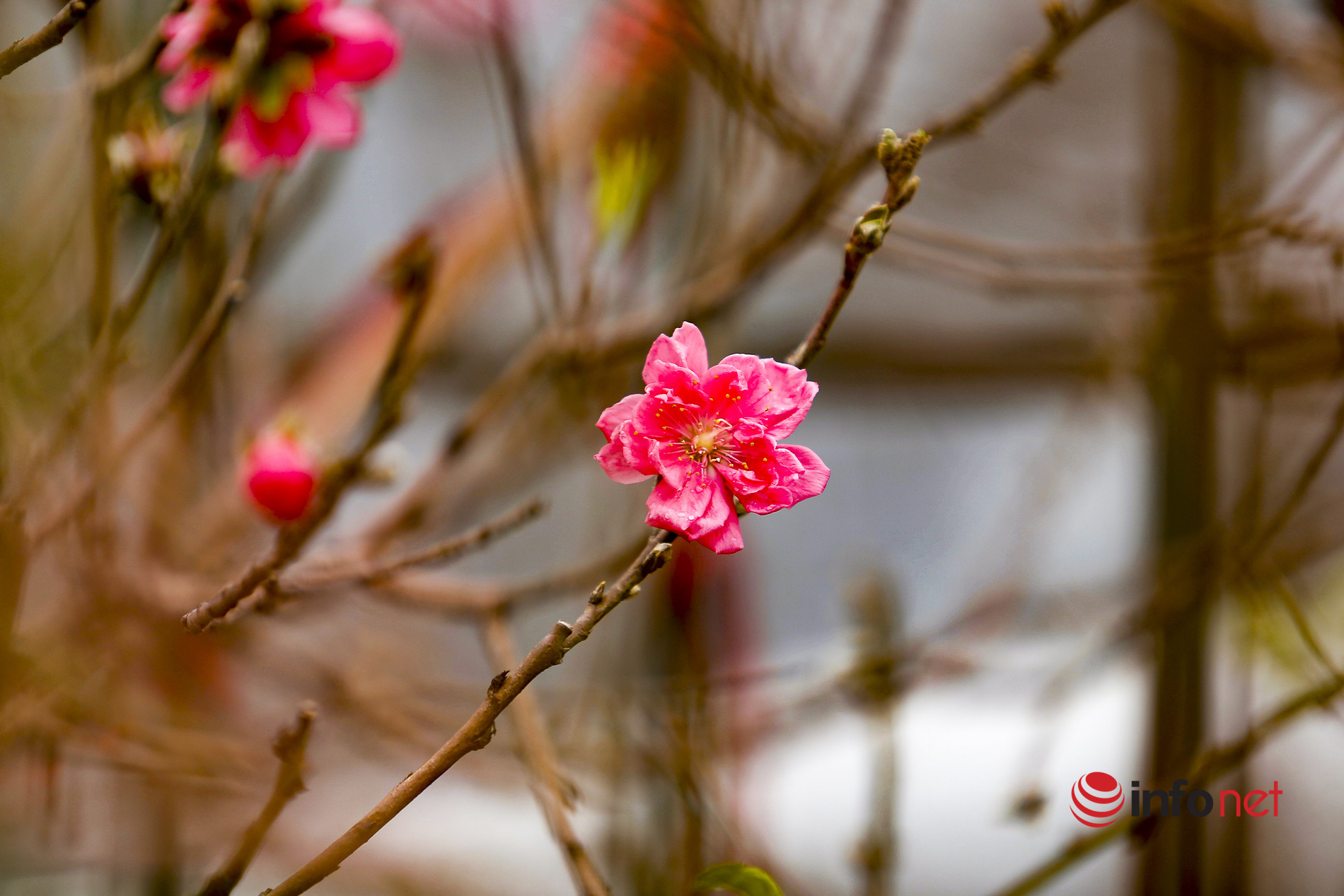 Đào Nhật Tân xuống chợ, khách háo hức ngắm hoa ngỡ như Tết đang cận kề