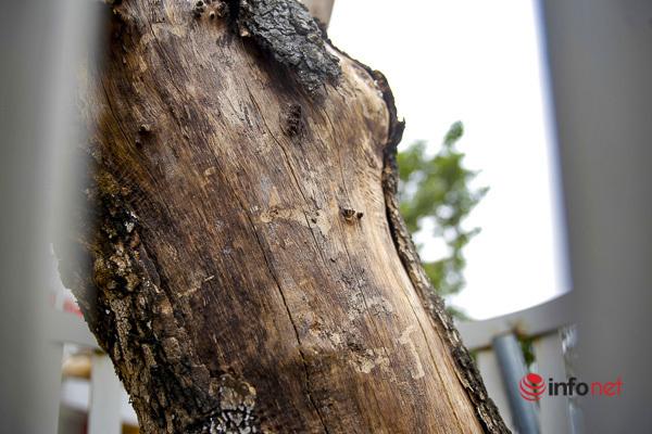 Hà Nội: Hàng cây sưa quý trên đường Nguyễn Văn Huyên héo khô không rõ nguyên nhân
