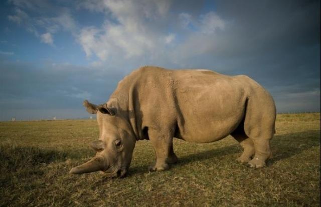 Tê giác trắng đực cuối cùng Sudan 1