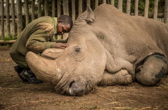 Tê giác trắng đực cuối cùng Sudan