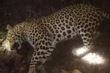Ấn Độ tiêu diệt con báo săn mồi, khiến 12 người thiệt mạng