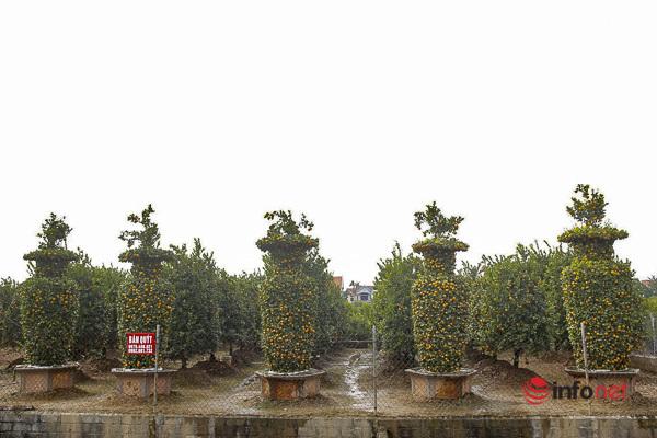 Chiêm ngưỡng vườn quýt lục bình 'siêu to khổng lồ' của lão nông Hưng Yên
