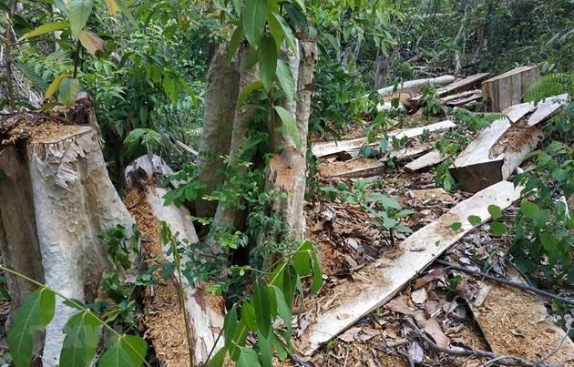 Vụ phá rừng ở Khu bảo tồn thiên nhiên Ea Sô: Lâm tặc biết lịch Giám đốc đi bắt gỗ?