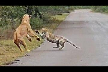 Cuộc chạm trán hiếm gặp giữa sư tử và báo hoa mai