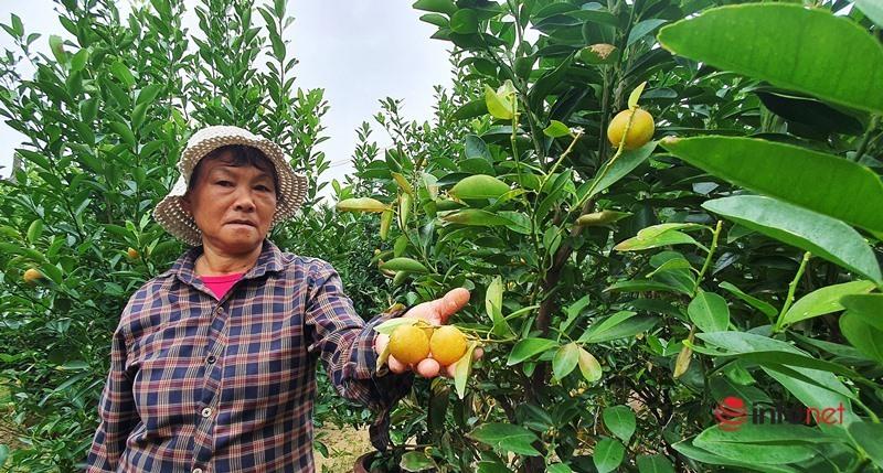 Quảng Nam: Nông dân thủ phủ quất cảnh 'khóc ròng' vì cây hỏng, thương lái vắng bóng