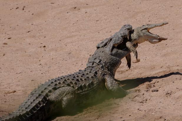Kinh dị khoảnh khắc cá sấu sông Nile ăn thịt đồng loại