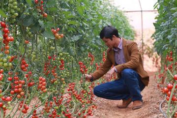 Nông dân Hà Nam tăng diện tích trồng rau sạch trong nhà lưới