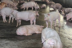 Người phụ nữ thoát nghèo nhờ mô hình chuồng trại nuôi lợn
