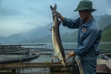 Giảm tỷ lệ hộ nghèo nhờ mô hình nuôi cá tầm