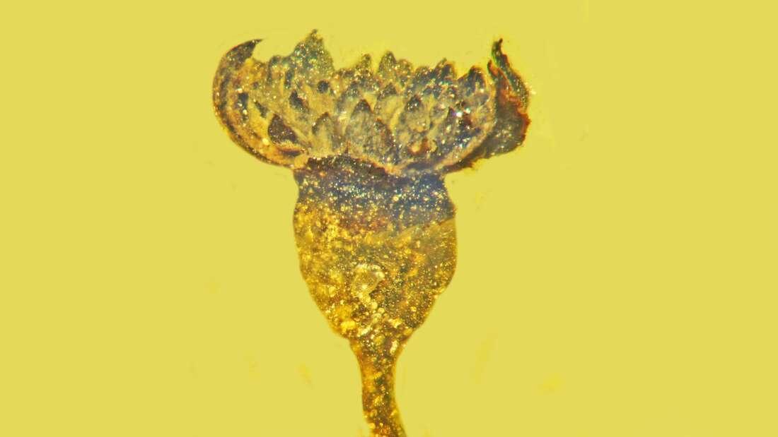Bông hoa triệu năm tuổi nguyên vẹn như mới hái trong hổ phách