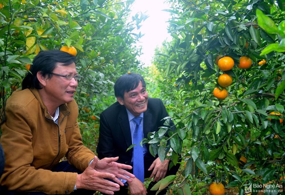 Loại quả quý như vàng thuộc hàng 'quốc bảo' ở Hàn bỗng xuất hiện cả vườn tại Nghệ An