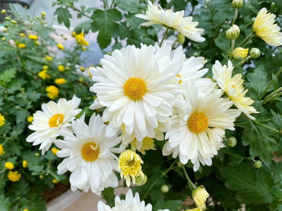 ý nghĩa hoa cúc