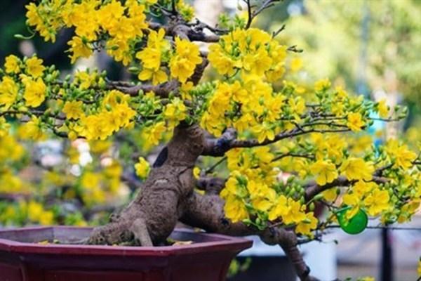 ý nghĩa hoa mai vàng