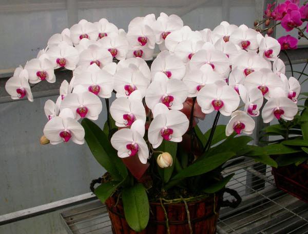 ý nghĩa hoa lan
