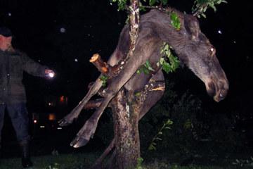 Nai sừng tấm bị mắc kẹt trên cây do ... say rượu