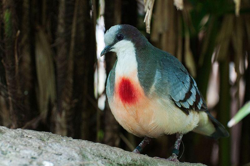 Sự thật về chim bồ câu luôn mang 'vết thương giữa ngực'