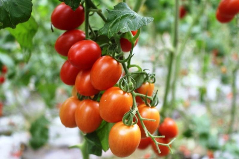 Ngỡ ngàng hàng ngàn gốc cà chua dài ngoẵng, thu hoạch mãi không hết ở Nghệ An